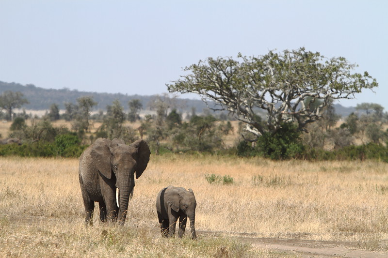 Momma Elephant and Child.JPG