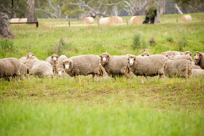 Sheep 10.jpg