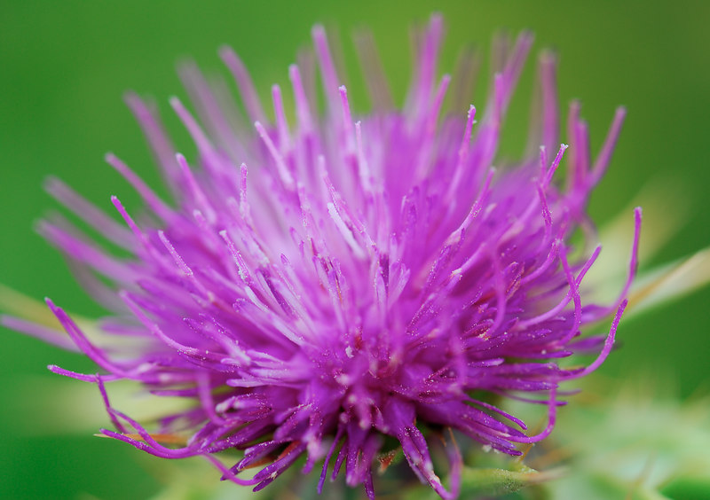 Purple thistle.  Big Lagoon, Redwoods National Park