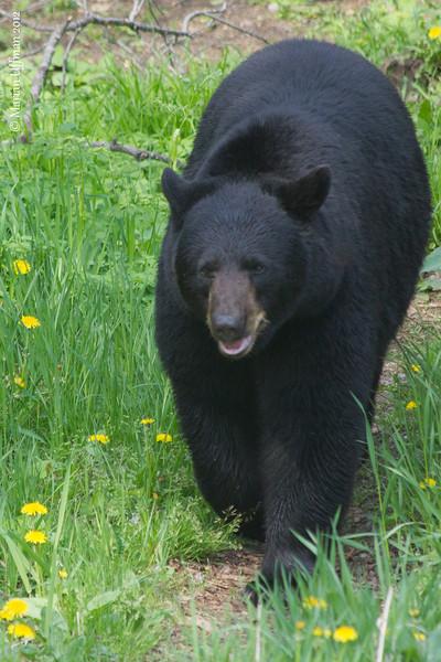 20120519-_MG_5565Black_Bears.jpg
