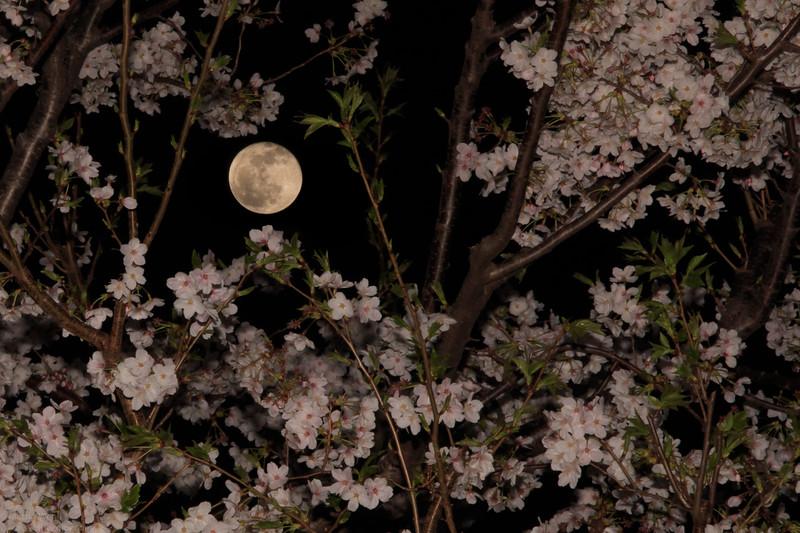 Full Moon Sakura 2013