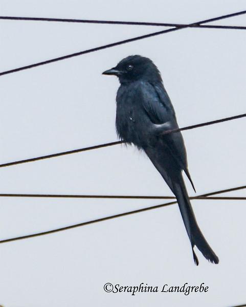_DSC8351Black bird.jpg