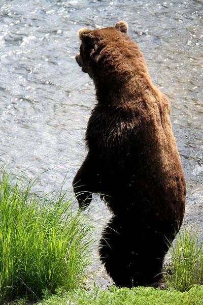 Katmai Bear2.jpg