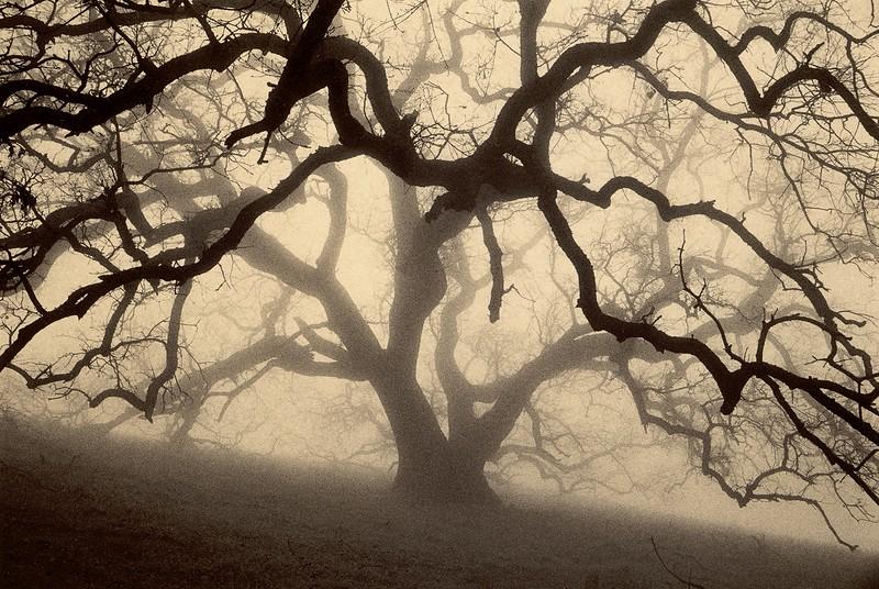 The Grand Oak, Sunol, California