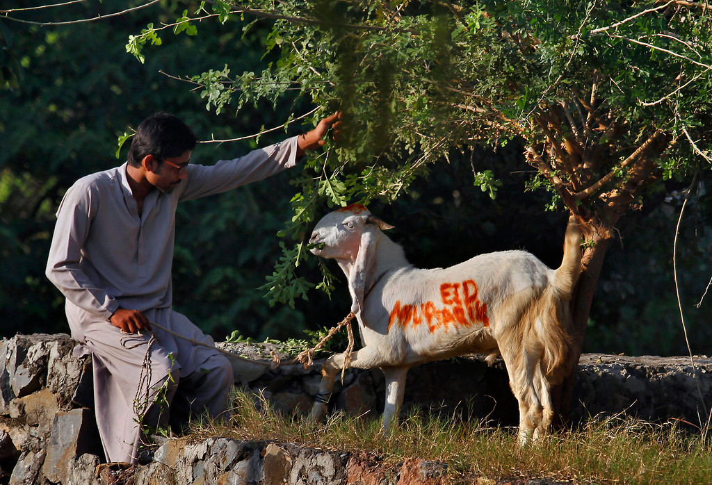 """. A Pakistani feeds his goat wearing the words \'Eid Mubarak\' or \'Eid Greeting\', to be slaughtered on the Muslim holiday of Eid al-Adha, or \""""Feast of Sacrifice,\"""" in Islamabad, Pakistan on Tuesday, Oct. 15, 2013.  (AP Photo/Anjum Naveed)"""
