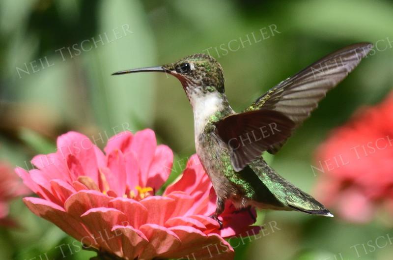#1028  A ruby throated hummingbird juvenile male perched on a zinnia petal