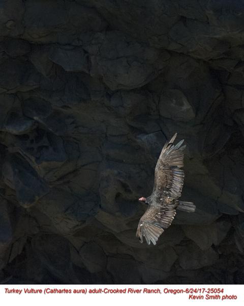 Turkey Vulture A25054.jpg