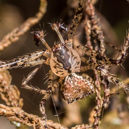 Australomimetus mendicus