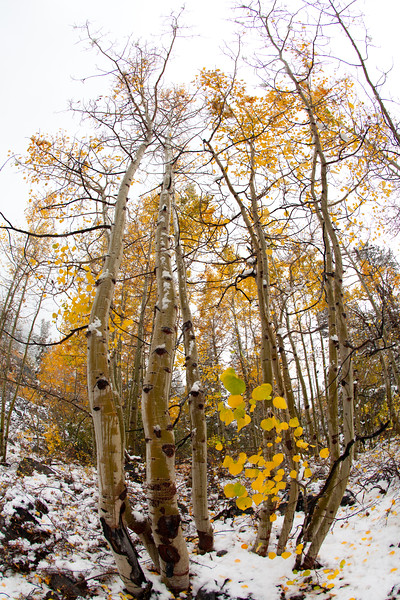 Aspen trees with early snow