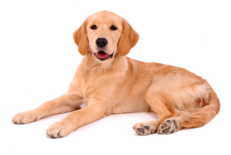Golden Retriever on White