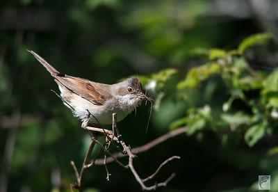 Sangere /Singers (warblers)