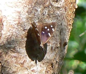 DotMFlPurWg662 May 25, 2007  8:36 a.m.  P1010662 Florida Purplewing butterfly Lignum Vitae Botanical S.P.