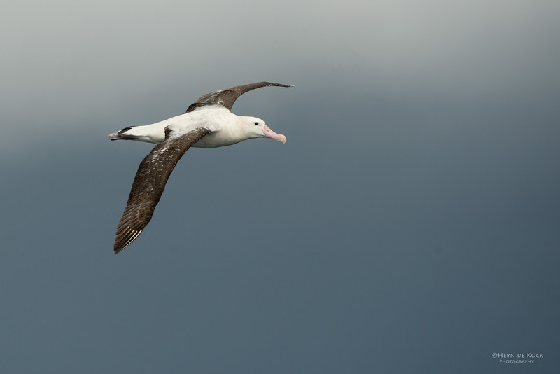 Wandering Albatross, Wollongong Pelagic, NSW, Aus, Aug 2014-1.jpg