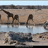 Giraffe and Zebra Sharing a Drink