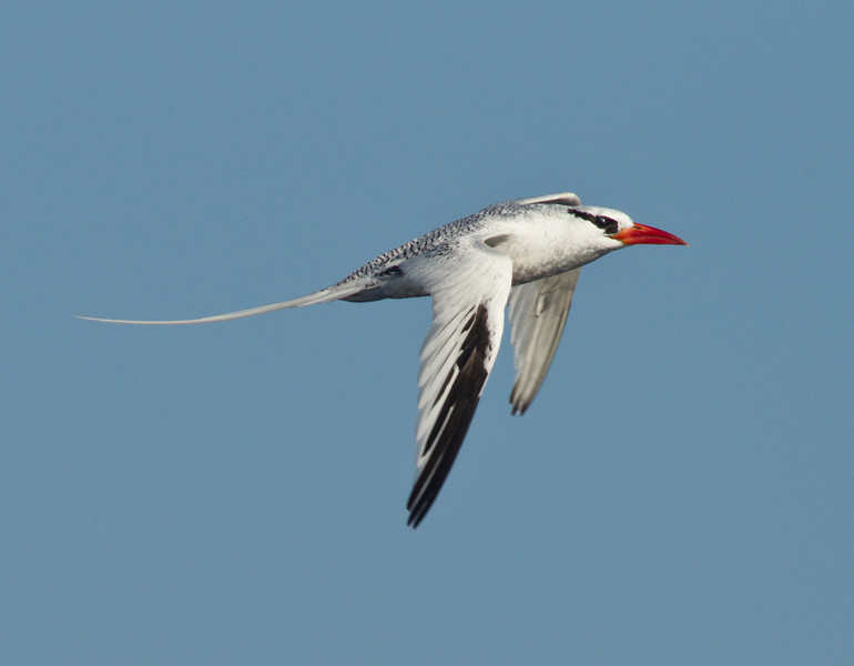Red-billed Tropicbird  6.3 nauticle  miles out   San Diego waters 2012 09 30 (1 of 6).CR2 (1 of 6).CR2