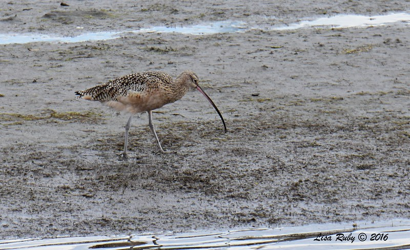 Long-billed Curlew  - 10/28/2016 - San Diego River Estuary