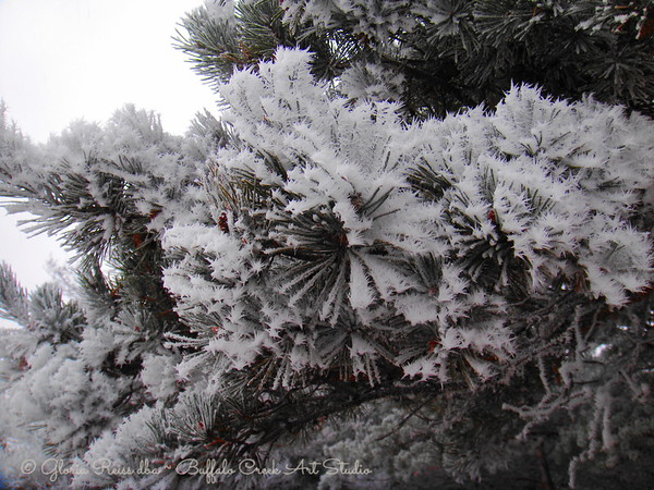 pine needles in frost