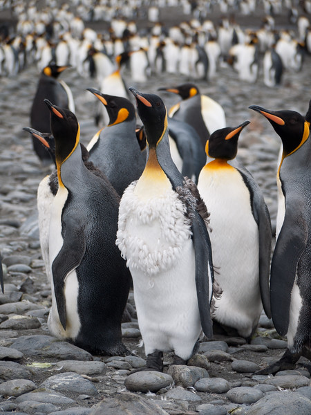 Molting Penguins