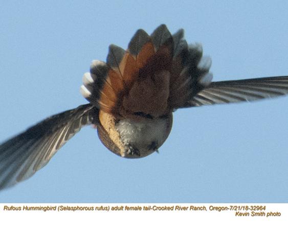 Rufous Hummingbird F32964.jpg