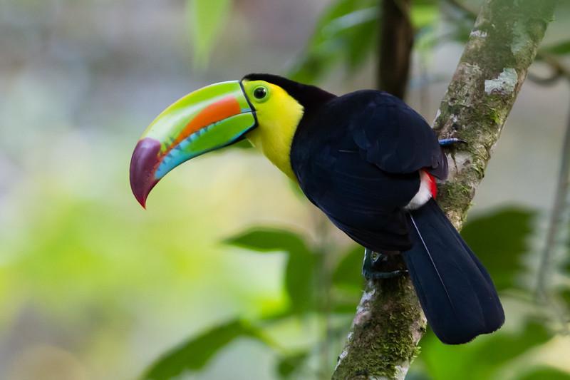 Keel-billed Toucan - Selva Verde, Costa Rica