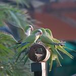 Group of Monk Parakeet birds in the Pantanal, Brazil