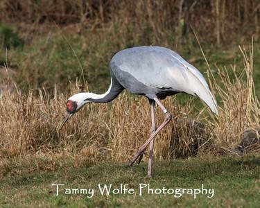 Crane, White-naped