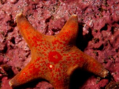 Dermasterias impricata (leather star)