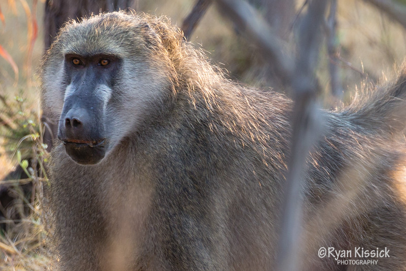 This baboon might not look too menacing in this picture...