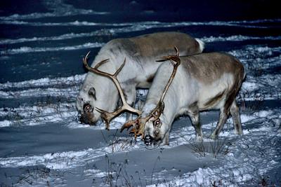 Svalbard_Reindeer