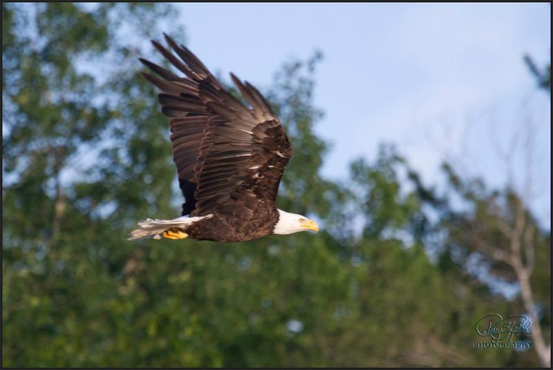 Bemidji Boat Ride Eagle-110628-5628.jpg