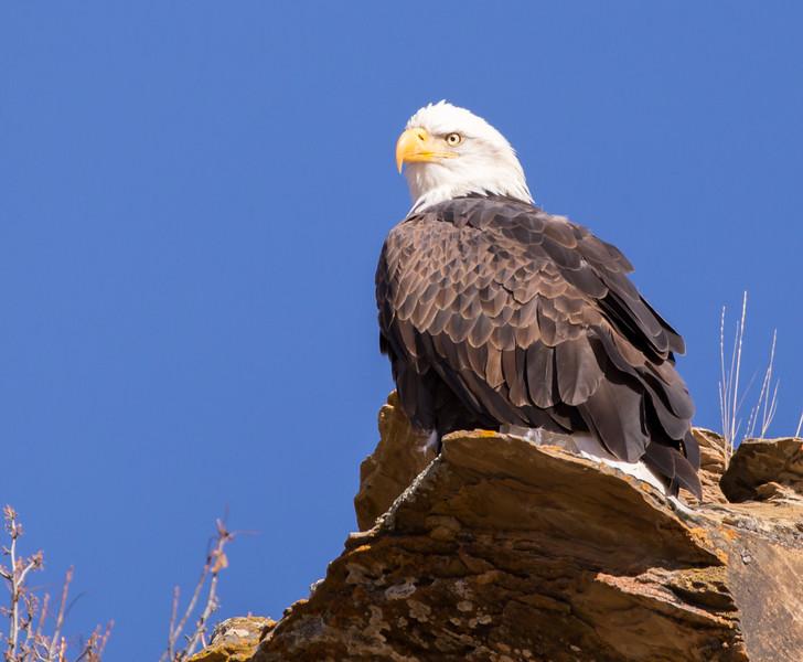 American Bald Eagle. 3629