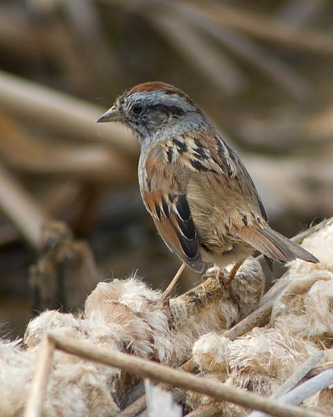 swampsparrow_edited-1.jpg