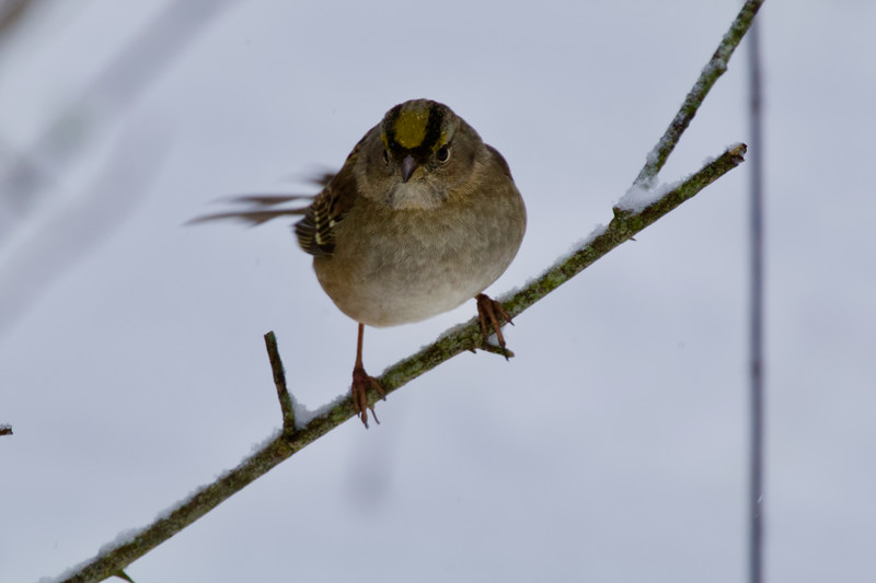 Gold-Crowned Sparrow