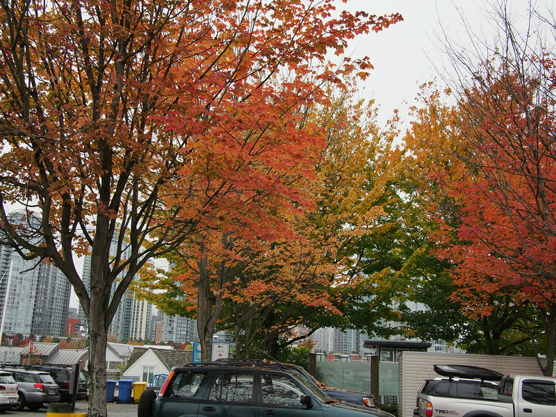 Oct. 19/13 - Fall trees on Granville Island