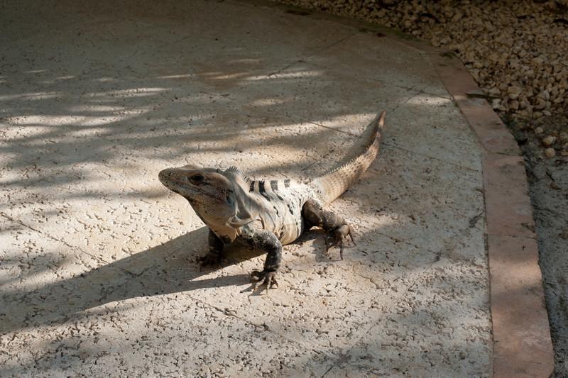 Hector the Iguana