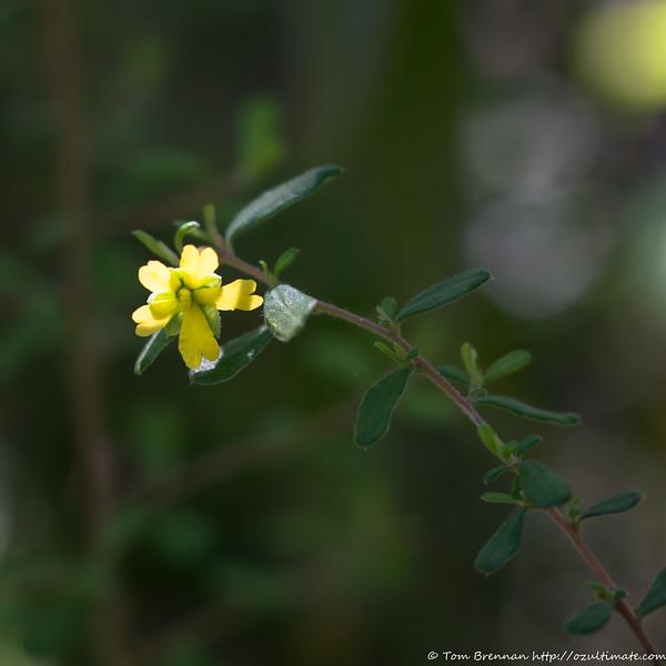 Hibbertia empetrifolia?
