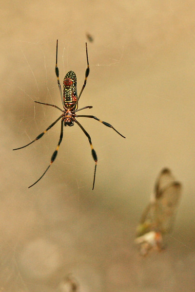 Spider with Meal, Costa Rica