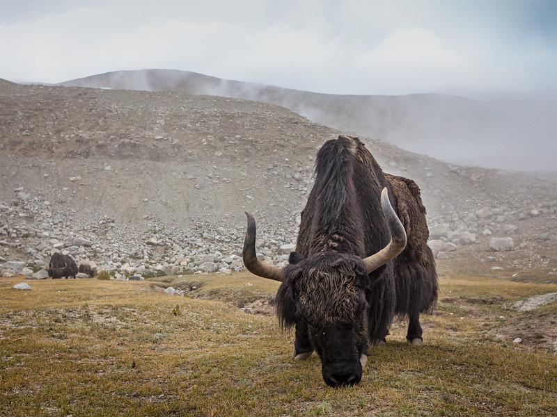 Yak grazing in Himalayas