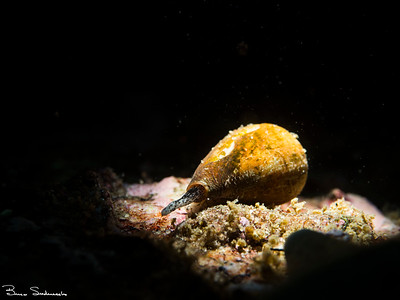Conus californicus (california cone snail)