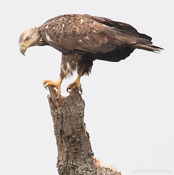 Juvenile Bald Eagle, Mason Neck state park, Virginia, June 2008