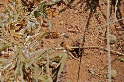 Termite, Northern Harvester