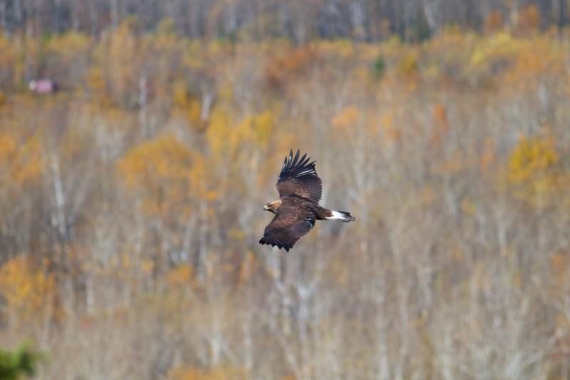 Golden Eagle immature Hawk Ridge Summit Ledges Duluth MN IMG_4158.jpg