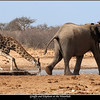 Giraffe and Elephant at the Waterhole
