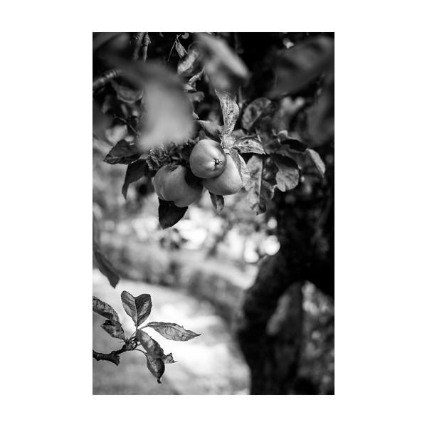 232_Apples_10x10.jpg