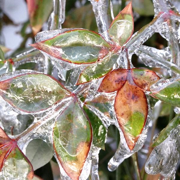 2_Gichner_Frozen Leaves.JPG