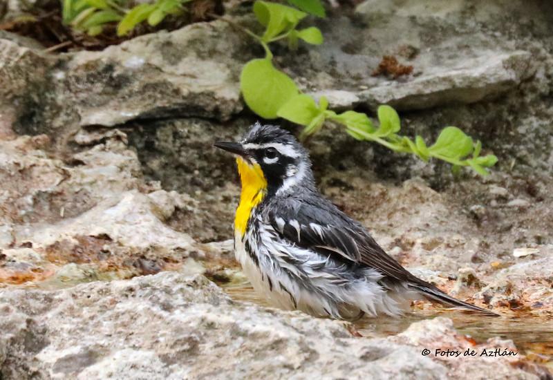 Yellow-throated Warbler IMG_9566.jpg