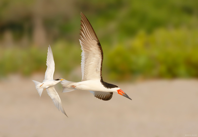 Least Tern and Black Skimmer