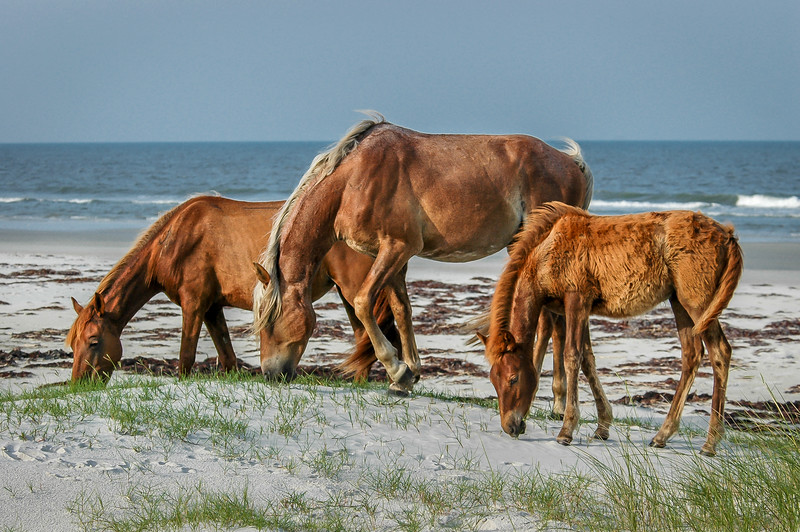 Foal Pair and Mare Grazing on Sand Dune CI