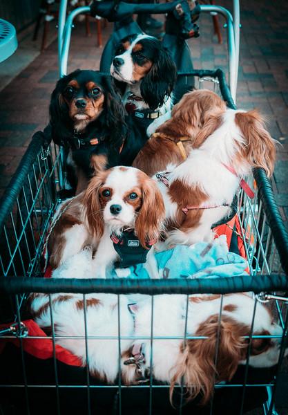 Basket of Spaniels at Pearl.jpg
