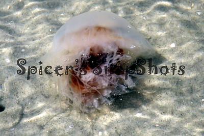Jellyfish off Little Tybee 2010